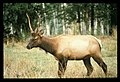Young male elk. 581. slide (ecab888bb9134d7cb71cb3f512e0940c).jpg