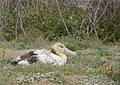 Young short-tailed albatross (6977072676).jpg