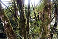 Yucca elephantipes 19zz.jpg