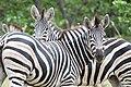 Zebra Huddle (2361401445).jpg