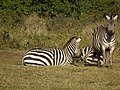 Zebras in Tanzania 3946 Nevit.jpg