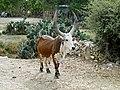 Zebu in Ethiopia 02.jpg