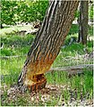 Zion Misc, Beaver Chew 5-1-14b (14427994033).jpg