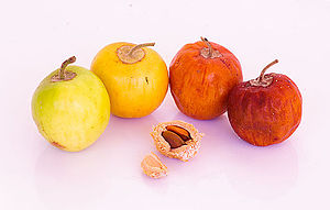 Ziziphus mauritiana - Fruits at various stages of ripeness, with cracked pit showing the two seeds
