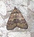 (似)黃斑亥鬚裳蛾 Hydrilodes sp. cf. flavimacula Wu, Fu & Owada, 2013 (15453124658).jpg