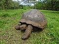 (Chelonoidis nigra) El Chato Reserve Galápagos tortoise.JPG