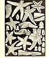 Échinodermes (astéries, ophiures et échinides) (1917) (20421185310).jpg