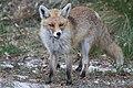 Αλεπού στο βουνό Λαϊλιάς Σερρών (όρη Βροντούς).jpg