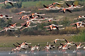 Lake Kerkini - Image: Φλαμίνγκο στην Κερκίνη