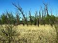 Мертвый лес - panoramio.jpg
