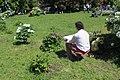 Національний ботанічний сад ім. М.Гришка Півонія деревовидна 02.jpg