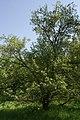 Невядомае дрэва ў Севастопальскім парку 3.JPG