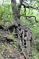 Патріарх байрачного лісу в одному з ярів балки.jpg