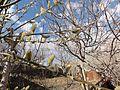 درخت بیدمشک - panoramio.jpg