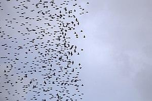 دسته پرندگان بر فراز شهر قم. سارها 35.jpg