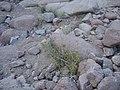 صورة أخرى لنبات العورور ووالذي يمكن ان يصيب العين بالعمى لمدة 20 دقيقة.JPG