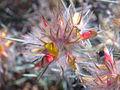 گلهاي وحشي ايران - panoramio - Farid Atar (1).jpg