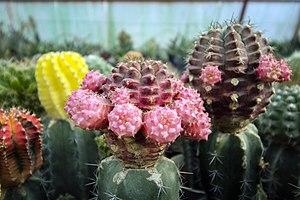 گونه های کاکتوس در گلخانه دنیای خار در قم 19.jpg