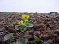 エゾタカネスミレ(蝦夷高嶺菫)(Viola var. borealis) (5966548466).jpg