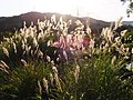 五節芒 Miscahthus floridulus - panoramio.jpg