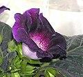 大岩桐 Sinningia speciosa -香港北區花鳥蟲魚展 North District Flower Show, Hong Kong- (9198129229).jpg