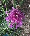 大矢車菊 Centaurea scabiosa -哥本哈根大學植物園 Copenhagen University Botanical Garden- (36765537270).jpg