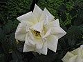 大馬士革玫瑰 Rosa damascena -北京花卉大觀園 The World Flower Garden, Beijing- (9227078003).jpg