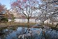 姫路城としだれ桜 - panoramio.jpg