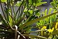 小天使蔓綠蓉 Philodendron selloum - panoramio.jpg