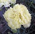 康乃馨 Dianthus caryophyllus Marie Chabaud -香港花展 Hong Kong Flower Show- (9216082536).jpg