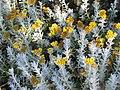 擬蠟菊屬 Helichrysum tianshanicum -英格蘭 Brockhole, England- (9213294641).jpg
