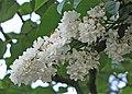 歐洲丁香-重瓣 Syringa vulgaris -德國 Rhine Valley, Germany- (9227118713).jpg