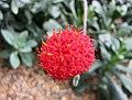 猩紅肉葉菊 Kleinia fulgens -新加坡濱海灣花園 Gardens by the Bay, Singapore- (24678375469).jpg