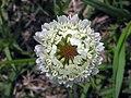 白車軸草(白花三葉草) Trifolium repens -香港迪欣湖 Inspiration Lake, Hong Kong- (9237374011).jpg