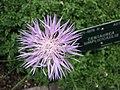 矢車菊屬 Centaurea simplicicaulis -哥本哈根大學植物園 Copenhagen University Botanical Garden- (36326810684).jpg
