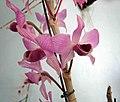 石斛蘭屬 Dendrobium rhodopterygium x anosmum -香港青松觀蘭花展 Tuen Mun, Hong Kong- (13917734929).jpg
