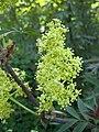 總序接骨木 Sambucus racemosa -芬蘭 Porvoo, Finland- (34585848244).jpg