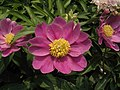 芍藥-單瓣型 Paeonia lactiflora Single-series -北京景山公園 Jingshan Park, Beijing- (9198171057).jpg
