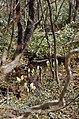 芳の平水芭蕉の森 Skunk Cabbages in Yoshi-no-daira - panoramio.jpg