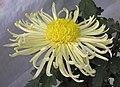 菊花-管桂型 Chrysanthemum morifolium Inner-floret-tubular-series -香港圓玄學院 Hong Kong Yuen Yuen Institute- (9216111140).jpg