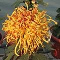 菊花-紅裝素裹 Chrysanthemum morifolium 'Elegantly Simple Beauty' -中山小欖菊花會 Xiaolan Chrysanthemum Show, China- (12049604203).jpg