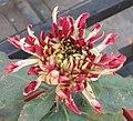 菊花-虎節群符 Chrysanthemum morifolium -中山小欖菊花會 Xiaolan Chrysanthemum Show, China- (12065506056).jpg