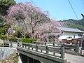 賀名生皇居跡のしだれ桜 Weeping cherry tree 2011.3.31 - panoramio.jpg