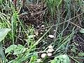 -2018-08-15 Toadstools, Paston way, Trimingham (5).JPG