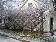 Belgian Fence pruned fruit tree