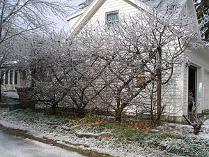 Espalier - Belgian fence after an ice storm