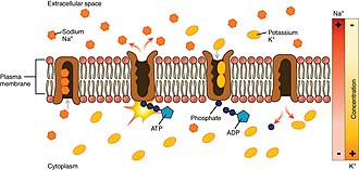 Na+/K+-ATPase - The sodium-potassium pump is found in many cell (plasma) membranes. Powered by ATP, the pump moves sodium and potassium ions in opposite directions, each against its concentration gradient. In a single cycle of the pump, three sodium ions are extruded from and two potassium ions are imported into the cell.