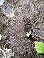 1,5 m Birnbaum, Wurzeln gut angeschlämmt und etwas festgetreten, 3.10.2012. - panoramio.jpg