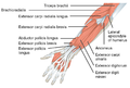 1120 Muscles that Move the Forearm Antebrach. Sup. Ext. Sin.png