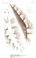 1839 BostonJournal NaturalHistory v2 illus5.png